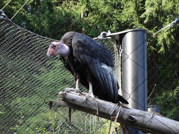 California condor at the Oregon Zoo. (photo by Fjothr)
