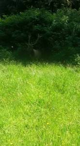 An Elk hart in the shade from Prairie Creek Redwoods State Park