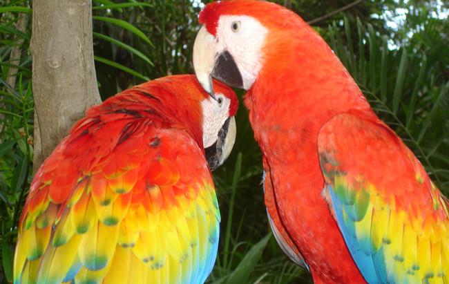 Scarlet macaws (c) Juan Carlos Cantu  (Fair Use)