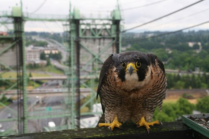 Look at that face!! (Peregrine Falcon on Interstate Bridge - Bob Sallinger, via Audubon Society of Portland)