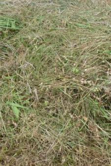 Meadows Shorn