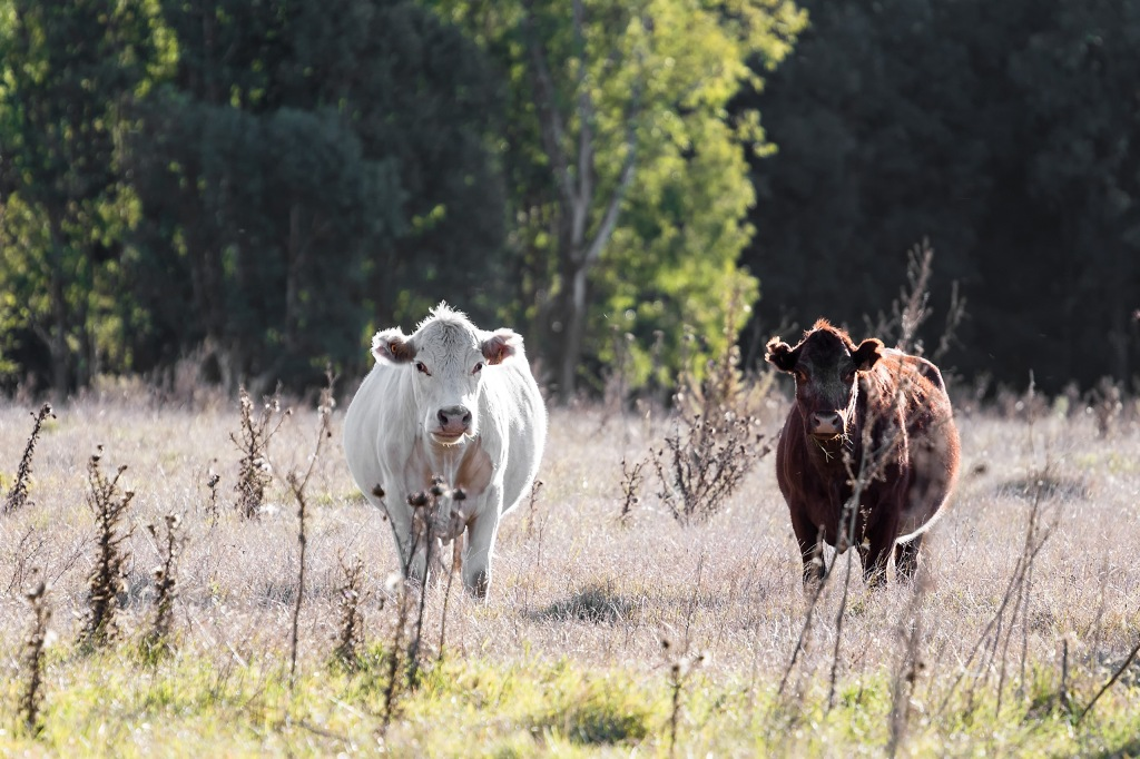 Two Cows, by Marcelo Campi on Flickr