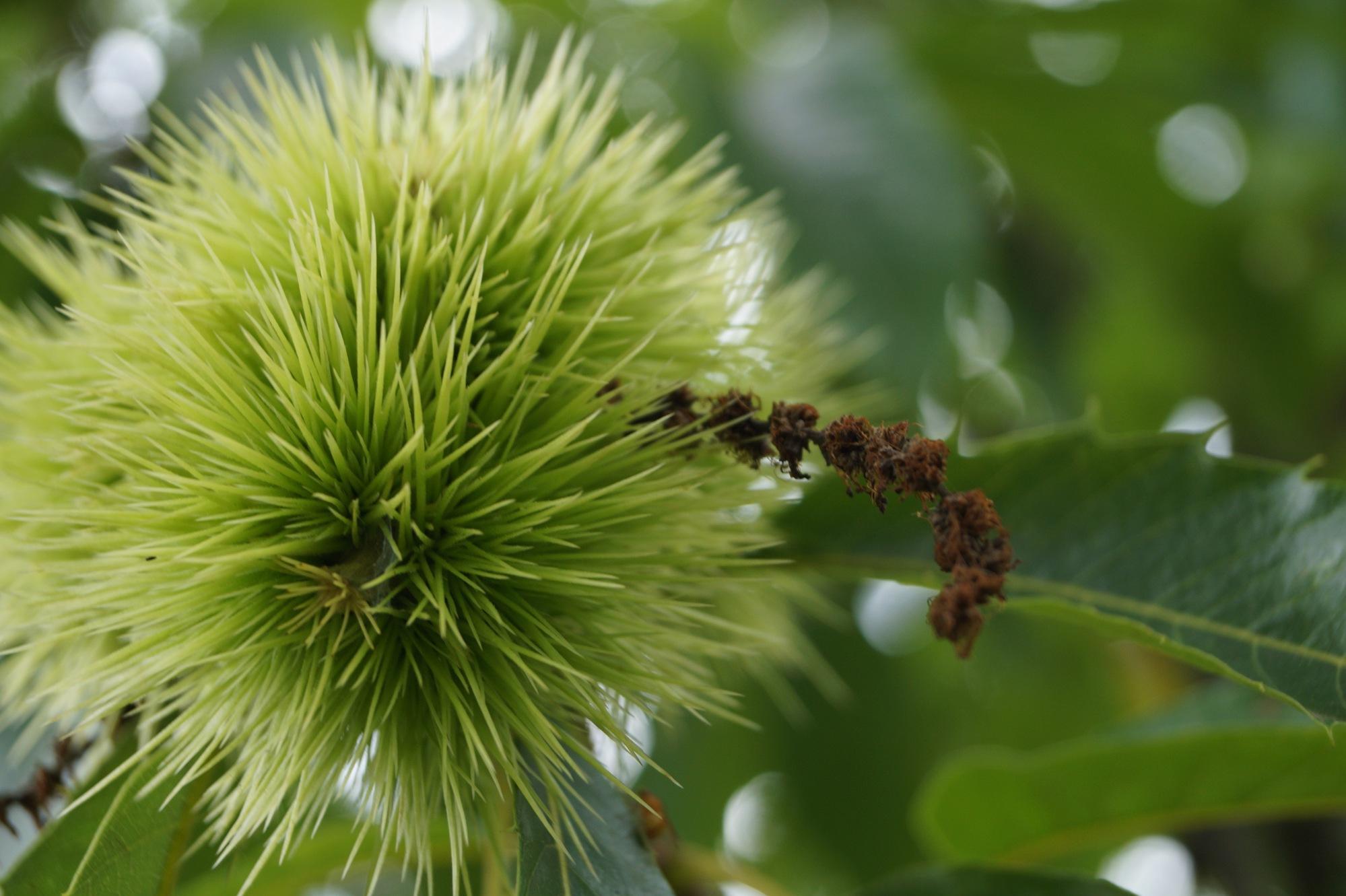 chestnut-Linda