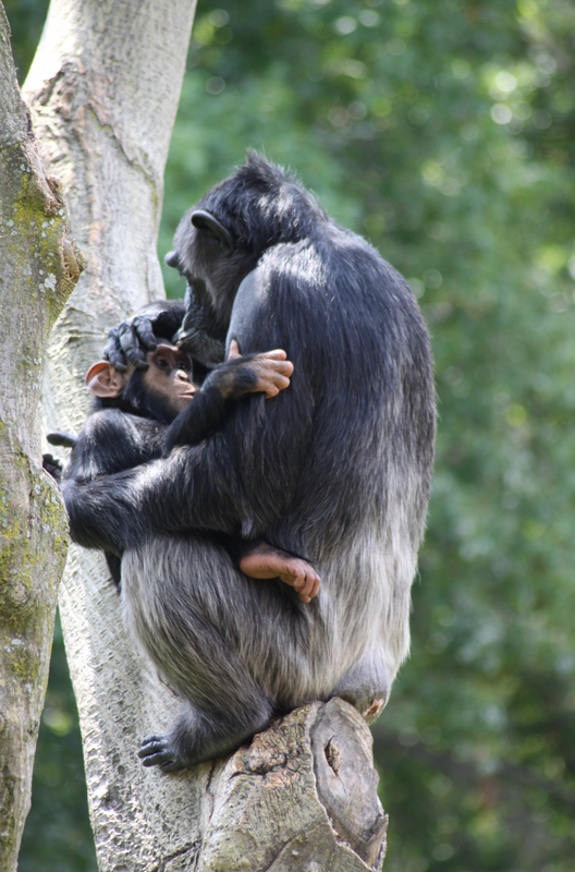 Chimpanzee_mother_with_baby
