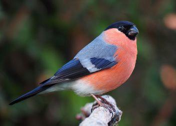 Bullfinch_male