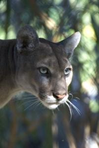Everglades_National_Park_Florida_Panther