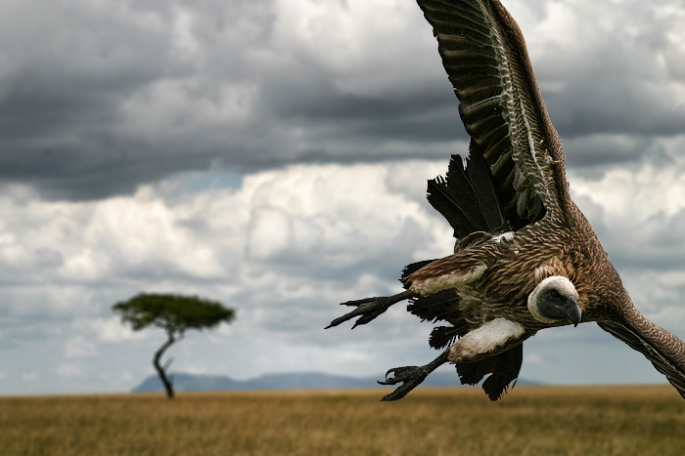 Vulture11