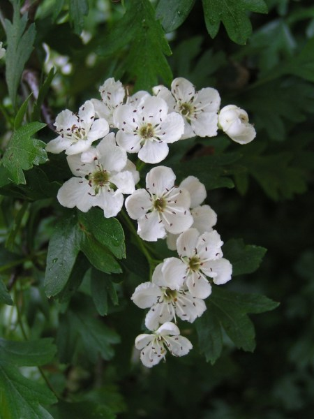 From https://commons.wikimedia.org/wiki/File:Common_hawthorn_flowers.jpg  This file is licensed under the Creative Commons Attribution-Share Alike 3.0 Unported license.