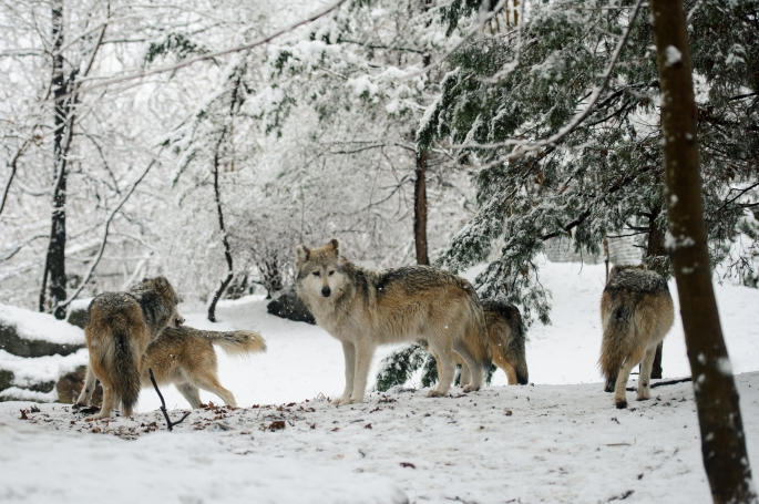 Mexican_Wolf_Pack_(12033414114)