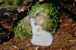 Kakapo parent and chick, from eartharchives.org