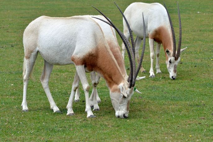 A group of scimitar oryx at Marwell Zoo in Hampshire, Great Britain