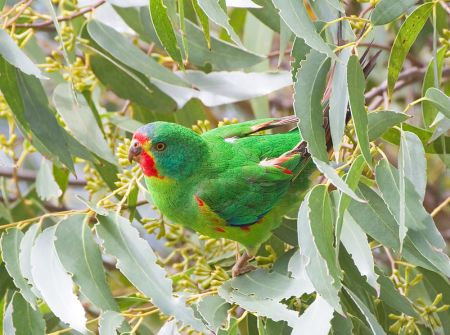 Swift Parrot (Lathamus discolor), Bruny Island, Tasmania, Australia. Source: Wikimedia Commons, by JJ Harrison (jjharrison89@facebook.com), CC BY-SA 3.0