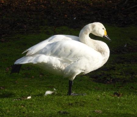bewicks-swan-ii
