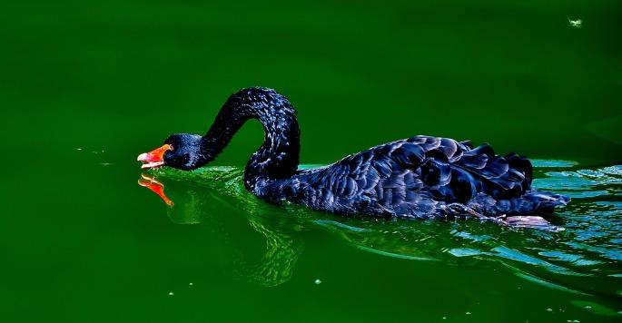 black-swan-laurentiu-cosmoiu