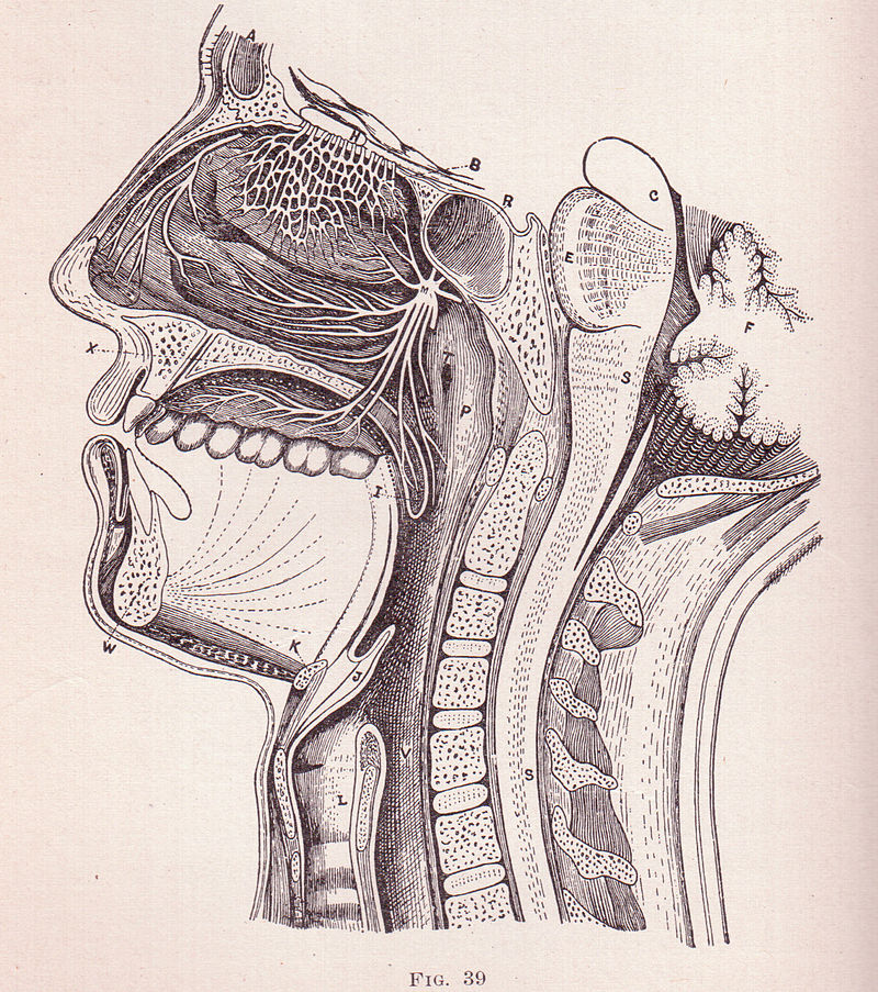 800px-cross_section_of_a_face