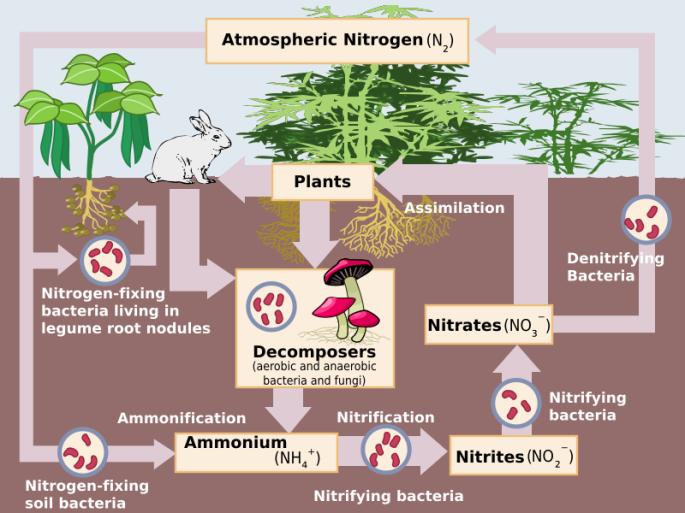 800px-nitrogen_cycle-svg