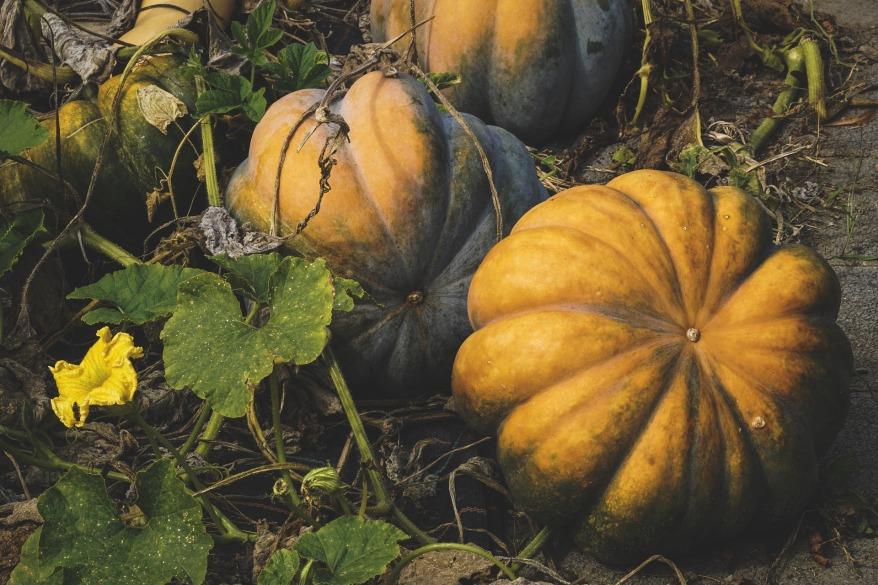 pumpkin-3682430_1920